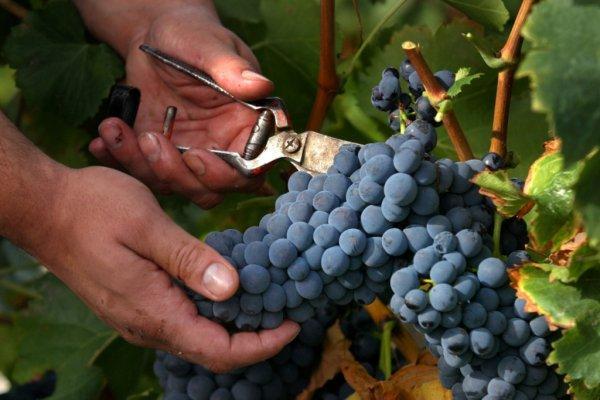 Grape Harvest Report